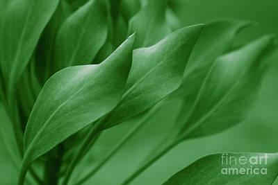 King Sugar Bush - King Protea - Leaves Green Poster by Sharon Mau