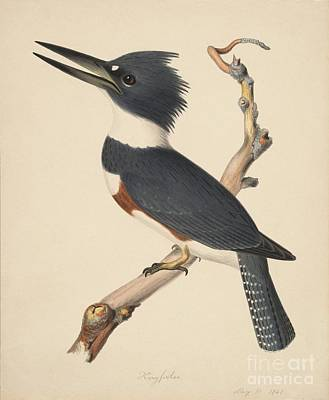 Kingfisher Poster by Celestial Images