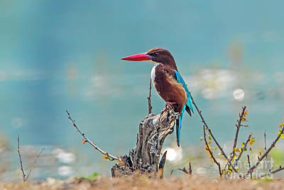 Kingfisher On A Stump Poster by Pravine Chester
