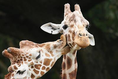 Kissing Giraffes Poster by Buck Forester
