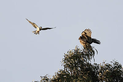 Kite And Redtail Hawk Argument Poster by Michael Riley