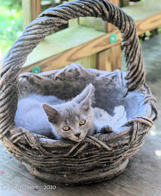 Kitten In A Basket Poster