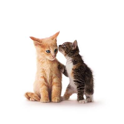Kitten With Paw On Shoulder Poster