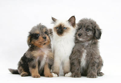 Kitten With Puppies Poster