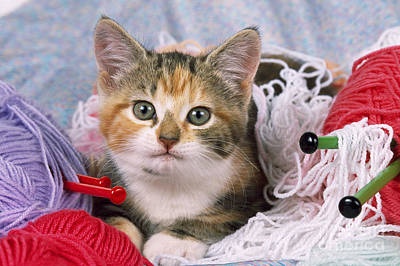 Kitten With Yarn Poster by John Daniels