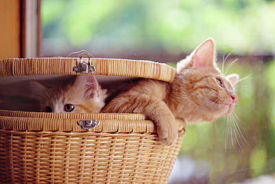 Kittens In Basket Poster by Sarahwolfephotography