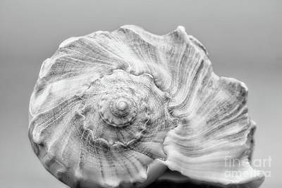 Poster featuring the photograph Knobbed Whelk by Benanne Stiens