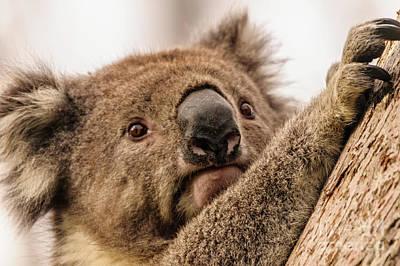 Koala 3 Poster by Werner Padarin