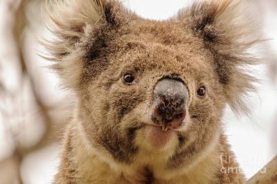 Koala 4 Poster by Werner Padarin