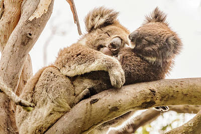 Koala 5 Poster by Werner Padarin