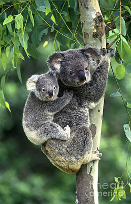 Koala And Young Poster by Jean-Louis Klein & Marie-Luce Hubert
