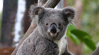 Koala Bear 7 Poster by Gary Crockett