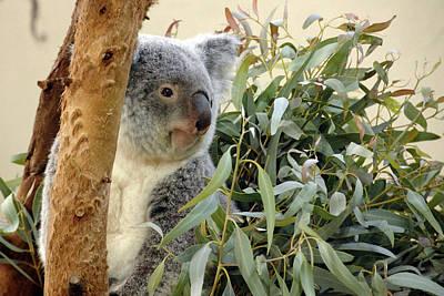 Koala Bear I Poster