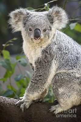 Koala Female Portrait Poster by Jamie Pham
