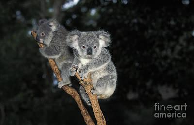 Koala Phascolarctos Cinereus Poster