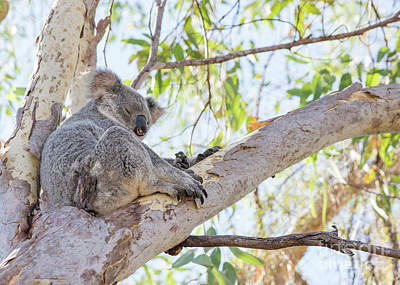 Koala Sitting In Gum Tree Poster by Sher Stoll