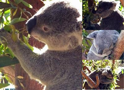 Poster featuring the photograph Koalas Unite by Amanda Eberly-Kudamik