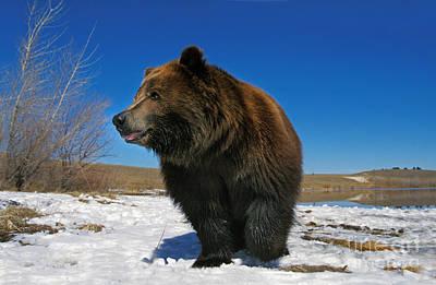 Kodiak Bear Ursus Arctos Middendorffi Poster by Gerard Lacz