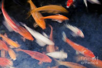 Koi Fish In Pond Poster