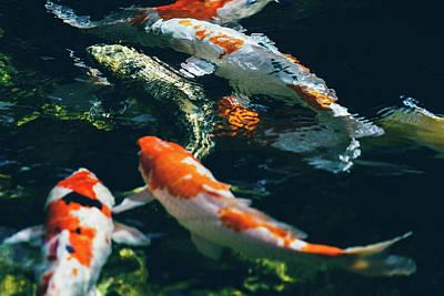 Koi Fish In Water Poster