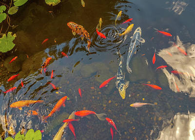 Koi Fishes In The Pond Poster by Art Spectrum