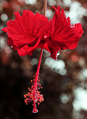 Kokio Drops Hawaiian Red Hibiscus Flower In Bloom Poster by Andy Smy
