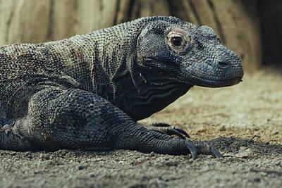 Komodo Dragon Portrait Poster by Pati Photography