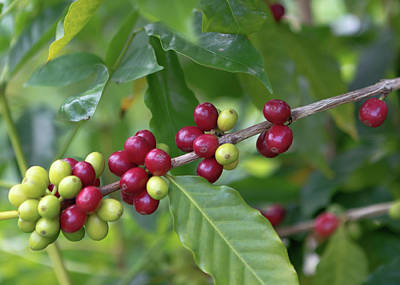 Poster featuring the photograph Kona Coffee Cherries by Susan Rissi Tregoning