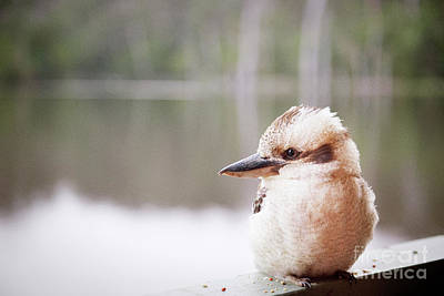 Poster featuring the photograph Kookaburra by Ivy Ho