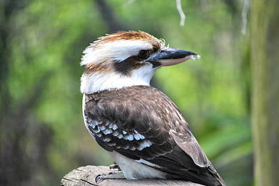 Poster featuring the photograph Kookaburra by Laura DAddona