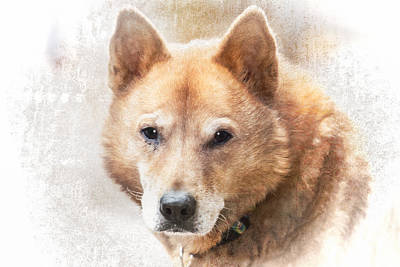 Korean Jindo Portrait Poster