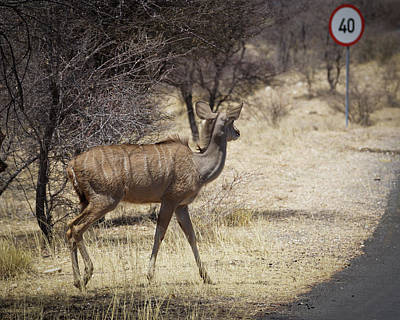 Poster featuring the photograph Kudu Crossing by Ernie Echols