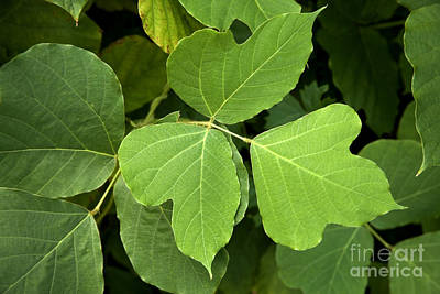 Kudzu Leaves Poster