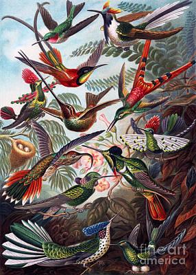 Kunstformen Der Natur Hummingbird Trochilidae Restored Poster by Pablo Avanzini