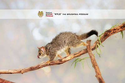 Kyle The Brushtail Possum, Native Animal Rescue Poster by Dave Catley
