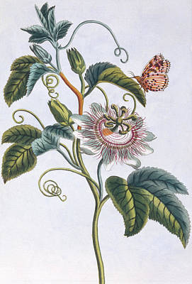 La Grenadille Or Le Maracot   Blue Passion Flower Poster