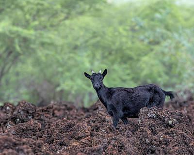 La Perouse Goats 2 Poster