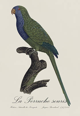La Perruche Souris / Monk Parakeet- Restored 19th Century Illustration By Jacques Barraband  Poster by Jose Elias - Sofia Pereira