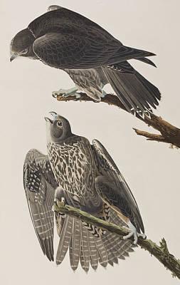 Labrador Falcon Poster