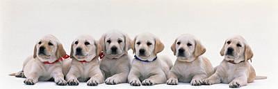Labrador Puppies Poster