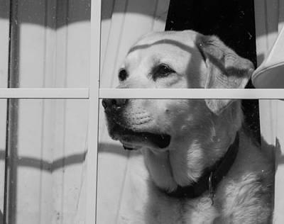 Labrador Retreiver Poster by Brian MacLean