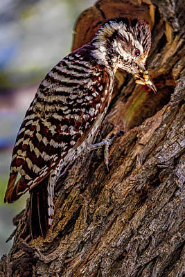 Ladderback Woodpecker  1221 Poster