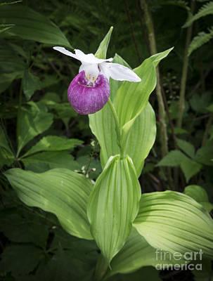 Lady Slipper Flower Poster by Edward Fielding