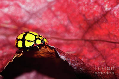 Ladybird On The Edge By Kaye Menner Poster by Kaye Menner
