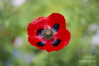 Ladybird Poppy Poster by Tim Gainey
