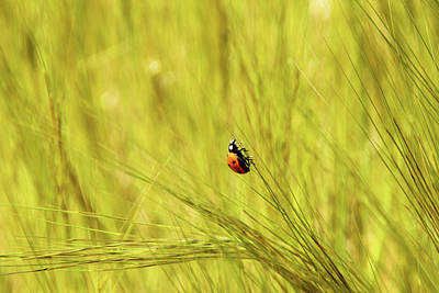 Ladybug In A Wheat Field Poster