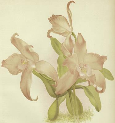 Laelia Autumnalis Venusta Poster
