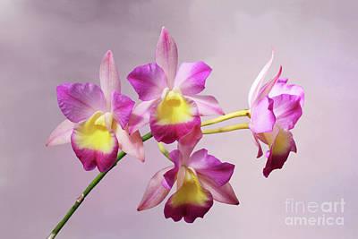 Laeliocatonia Hybrid Orchids V2 Poster
