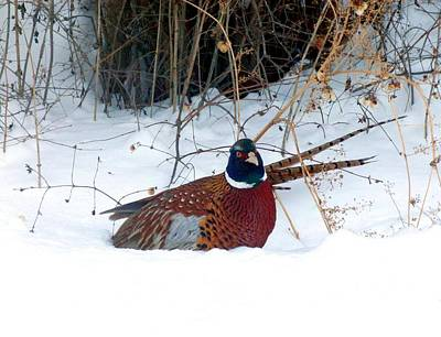 Poster featuring the photograph Lake Country Pheasant 2 by Will Borden