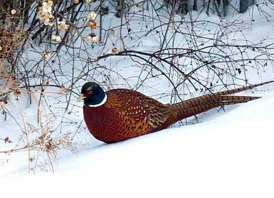 Poster featuring the photograph Lake Country Pheasant by Will Borden